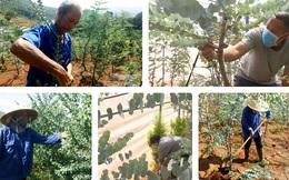 Nông dân Đà Lạt hốt bạc nhờ trồng cây đô la