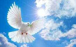 Tại sao chim bồ câu được xem là biểu tượng của hoà bình?