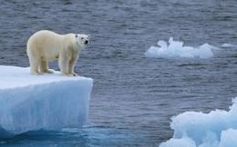Gấu trắng Bắc Cực sắp biến mất vĩnh viễn khỏi Trái Đất