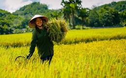 Vượt Thái Lan, Việt Nam có giá gạo xuất khẩu cao nhất thế giới