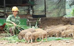 Kon Tum: Nuôi thứ heo sọc dưa, bán một con heo giống bé thôi mà giá tới 2,2 triệu đồng