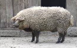 Thịt từ loại lợn có lông xù như lông cừu đắt hàng như tôm tươi nhờ hương vị đậm đà và mềm đến mức như tan trong miệng