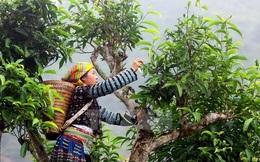 """Chè Shan Tuyết ngậm sương núi, """"tiền chát, hậu ngọt"""" giá 2 triệu đồng/kg vẫn không có để mua"""
