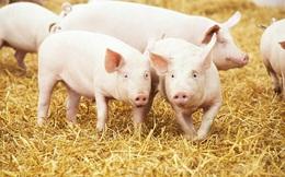 Dabaco lãi hơn 1.000 tỷ sau 8 tháng, năng suất sinh sản của lợn nái lên cao kỷ lục