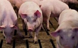 Giá lợn hơi tụt dốc không phanh, còn dưới 80.000 đồng/kg
