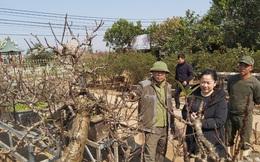 Thị trường hoa, cây cảnh Tết: Đào Nhật Tân đẹp, vẫn lo