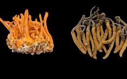 Sự thật về đông trùng hạ thảo: Không phải cây, chẳng phải con, dược chất nằm ở bộ phận không ai nghĩ đến!