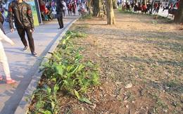 Thảm hoa hồ Hoàn Kiếm 'nát bươm' sau giao thừa và Tết Dương lịch