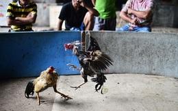 Thái Lan gặp khó trong chiến dịch chống Covid-19 vì… chọi gà