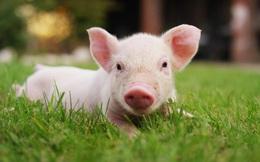 Hoàng Anh Gia Lai muốn lãi hơn 100 tỷ đồng năm 2021, xuất chuồng 300.000 heo thịt mỗi năm