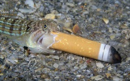 """Bức ảnh """"Cá hút thuốc"""" gây tranh cãi đoạt giải thưởng Nhiếp ảnh Đại dương"""