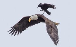 Không phải cứ bay trên trời đều là đại bàng, đã là quạ đen thì nghìn năm sau vẫn là quạ: Thấu 8 đạo lý, đi tới chân trời góc bể cũng không sợ bị đào thải