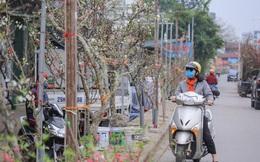 Người dân Hà Thành bỏ tiền triệu mua hoa lê chơi sau Tết