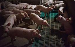 'Khẩu vị' lạ của nhà đầu tư Trung Quốc: Thờ ơ với Facebook, Apple, Amazon, chỉ thích rót tiền vào cổ phiếu các công ty bán... thịt lợn