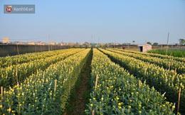 Hoa nở đúng dịp Tết, người dân làng Tây Tựu vẫn thấp thỏm vì dịch Covid-19: ''Có người mua hoa nhưng giá quá rẻ''