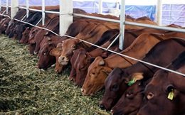 Về với Vinamilk, Vilico muốn đầu tư 1.700 tỷ làm trang trại bò thịt, xâm nhập thị trường quy mô 10 tỷ USD