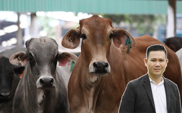 """Ông chủ Asanzo đi bán bò liệu có """"sớm nở tối tàn"""" như đàn bò của Bầu Đức?"""