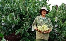 100.000 đồng một quả mãng cầu hoàng hậu Thái Lan khổng lồ, nông dân hồ hởi làm giàu