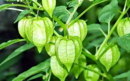 """Loại quả dại đang """"hot"""" tại Việt Nam, giá 400.000 đồng/kg: Nếu không biết phân biệt dễ nhầm với loại cây có độc"""