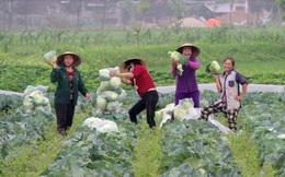 Nông dân không còn rau để 'giải cứu', giá rau lại tăng gấp 4 lần