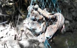 """Xuyên rừng săn loài cá kỳ lạ """"biết leo cây"""" ở Cà Mau"""