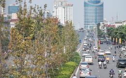 Hà Nội thay thế toàn bộ hàng cây phong lá đỏ trên đường Nguyễn Chí Thanh - Trần Duy Hưng