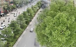 """Ảnh: Phong lá đỏ """"thất bại"""" và đây là những hình ảnh xanh mướt của bàng lá nhỏ - loại cây sẽ thay thế hàng phong trong tương lai"""