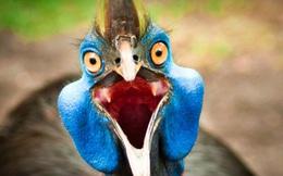Cassowary: Loài chim nguy hiểm nhất hành tinh, ngay cả quân đội cũng phải nể sợ chúng vài phần