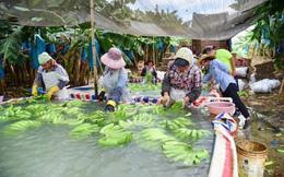 Cước vận chuyển tăng, chuối Philippines mất lợi thế cạnh tranh với Việt Nam, Campuchia