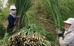 Loại cây mọc dại bờ ao, mang về Hà Nội thành đặc sản giúp tiểu thương kiếm tiền triệu mỗi ngày