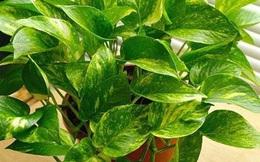 7 loại cây cảnh phổ biến nhưng có độc, nên cân nhắc kỹ trước khi trồng