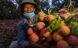 Ảnh: Người dân Bắc Giang thắp đèn từ 2 giờ sáng, đi thu hoạch vải thiều xuyên đêm