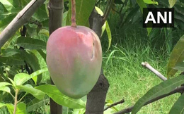 Cặp vợ chồng thuê 4 vệ sĩ, nuôi 6 con chó bảo vệ 7 quả xoài: Loại trái cây này có gì đặc biệt?
