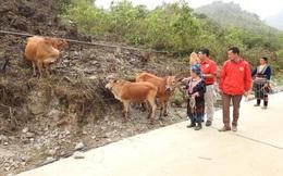 """""""Ngân hàng bò"""" giúp người dân Sìn Hồ thoát nghèo"""