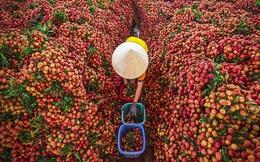 Vải thiều Bắc Giang thắng lớn: Tiêu thụ 192.000 tấn, riêng Lục Ngạn 122.000 tấn
