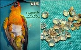 Chú vẹt cưng mở hộp trang sức, 'chén sạch' 21 viên kim cương của chủ rồi lăn đùng ra ốm, phải nhập viện cấp cứu