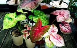 8 loại cây cảnh thường được đặt trong nhà nhưng lại chứa chất độc không phải ai cũng biết, nên cân nhắc kĩ trước khi trồng