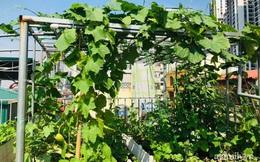 """""""Siêu thị"""" rau quả sạch không thiếu thứ gì trên sân thượng 70m² ở Hà Nội"""