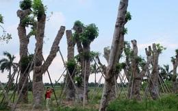 Công ty Cây xanh Hà Nội làm ăn ra sao trước khi TGĐ bị bắt?
