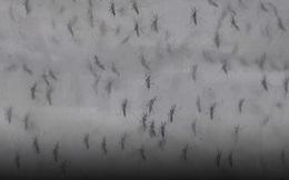 Trung Quốc thả hàng triệu con muỗi được nuôi trong phòng thí nghiệm ra môi trường mỗi ngày