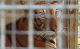 9 con hổ ở Nghệ An còn sống sau vụ giải cứu: Mỗi ngày tiêu tốn hết 20 triệu đồng