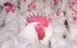 Giá gà xuống thấp kỷ lục trong lịch sử chăn nuôi, bán mỗi con hơn 2,5kg chỉ 12.000 đồng