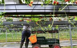 Thế giới thiếu lao động từ nông dân đến nhân viên giao hàng, người tiêu dùng gánh chịu áp lực giá thực phẩm tăng vọt