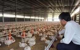 Gần 10 triệu con gà quá tuổi vẫn chưa xuất chuồng, Bộ NN&PTNT nói gì?