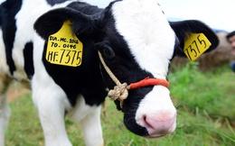 Đếm lượng bò nuôi tại các doanh nghiệp sữa ở Việt Nam
