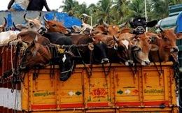 Dắt bò từ Ấn Độ về Việt Nam bán