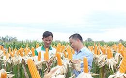 Nông dân Việt 'mê' bắp biến đổi gen