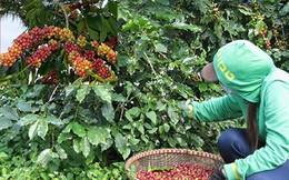 Cà phê Việt ngon số 1 thế giới bị ruồng bỏ