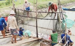 Nghịch lý xuất khẩu cá tra