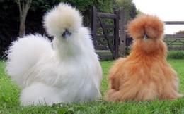 Chơi gà lông xù: 10 triệu một con, phải xếp hàng chờ 6 tháng